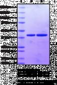 cGAS (161-522) (human recombinant)