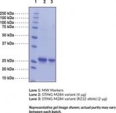 STING M284 variant (human recombinant)