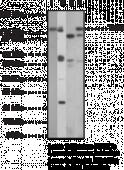 Toll-<wbr/>Like Receptor 9 Monoclonal Antibody (Clone 26C593.2)