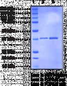 Prostaglandin F Synthase (human, recombinant)
