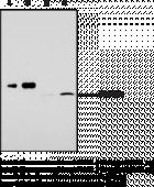 Monoacyl<wbr/>glycerol Lipase (FL) Polyclonal Antibody