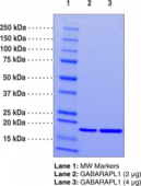 GABARAPL1 (human recombinant)
