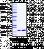 FABP5 (human recombinant)
