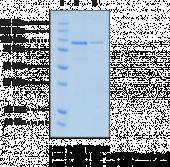PAD4 (human recombinant; His- and GST-tagged)