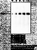 PAD1 Monoclonal Antibody (Clone 6B4)
