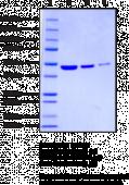 α-Enolase (human recombinant)