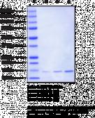 Histone H2A (<em>Xenopus</em> recombinant)