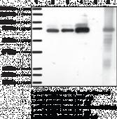 COX-<wbr/>2 (mouse) Polyclonal Antiserum