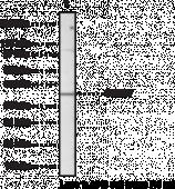 SMAD7 Polyclonal Antibody (azide-<wbr/>free)