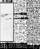 LCAT Polyclonal Antibody