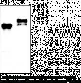 Vaspin (human) Monoclonal Antibody (Clone VP63)