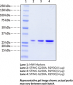 STING AQ variant (human recombinant)