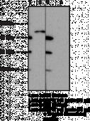 FFAR3 (GPR41) (Internal) Polyclonal Antibody