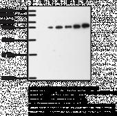 COX-<wbr/>2 (mouse) Polyclonal Antibody (aa 570-<wbr/>598)