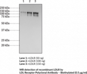 LDL Receptor Polyclonal Antibody - Biotinylated