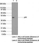 NF-<wbr/>κB (p50) Monoclonal Antibody (Clone 2J10D7)