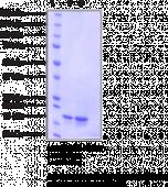 FABP7 (human recombinant)
