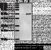 5-<wbr/>OxoETE Receptor Polyclonal Antibody