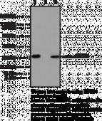 HMGB1 Polyclonal Antibody (aa 100-<wbr/>150)