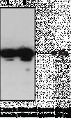 GPR31 (C-<wbr/>Term) Polyclonal Antibody