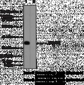 SUCNR1 Polyclonal Antibody