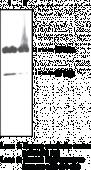 Melanocortin-<wbr/>4 Receptor Polyclonal Antibody