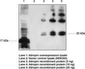 Adropin Polyclonal Antibody