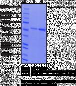 Beclin 1 (human recombinant)