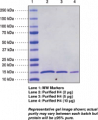 Histone H4 (human recombinant)