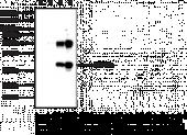 STING M284 variant Monoclonal Antibody (Clone 8E7)