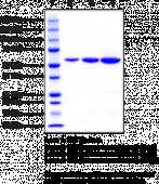 Glucose-6-phosphate Isomerase (human recombinant)