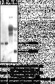 Serum Retinol Binding Protein 4 Polyclonal Antibody