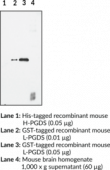 Prostaglandin D Synthase (lipocalin-<wbr/>type; mouse) Polyclonal Antibody