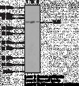 Toll-<wbr/>Like Receptor 1 Polyclonal Antibody