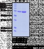 PAD6 (human recombinant)