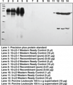 15-<wbr/>Lipoxygenase-<wbr/>1 (rabbit) Polyclonal Antiserum