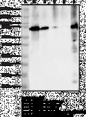 COX-2 Monoclonal Antibody (Clone 12C10)