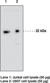 GPR35 Polyclonal Antibody