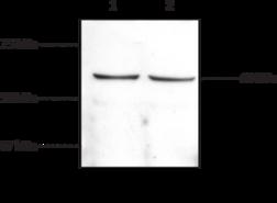 CB<sub>1</sub> Receptor (C-<wbr/>Term) Polyclonal Antibody