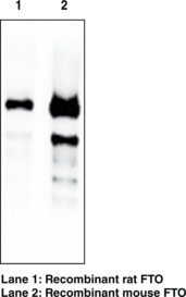 FTO (mouse) Monoclonal Antibody (Clone FT 342-<wbr/>1)