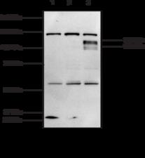 HIF-<wbr/>1α (C-<wbr/>Term) Polyclonal Antibody
