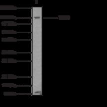Toll-<wbr/>Like Receptor 8 Monoclonal Antibody (Clone 44C143)