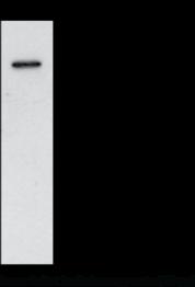 COX-<wbr/>1 (mouse) Polyclonal Antibody