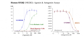 Human RXRβ Reporter Assay System, 3 x 32 assays in 96-well format