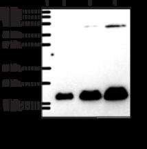 Prostaglandin E Synthase-<wbr/>1 (microsomal) Polyclonal Antibody