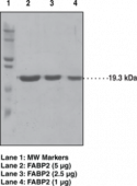 FABP2 (human recombinant)