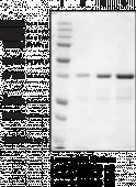 CBX2 chromodomain (human recombinant)
