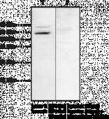 MBOAT1 Polyclonal Antibody