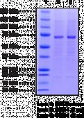 COX-1 (human, recombinant)