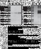 Carbamylated Human Fibrinogen
